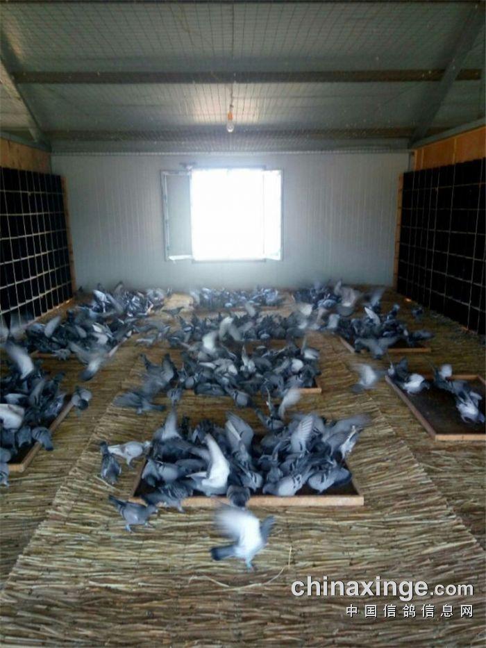 2016年幼鸽生活照 - 内蒙古乌拉特前旗乌拉山赛鸽