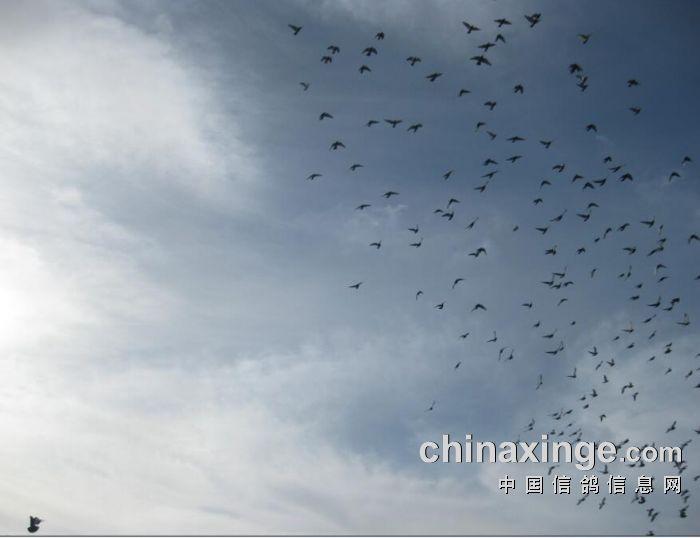 赛鸽近期生活照-中国信鸽信息网公棚信息www