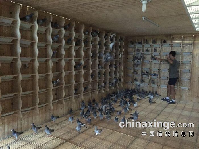 宁夏黄河赛鸽公棚8月3日赛鸽佩戴电子环(照片)