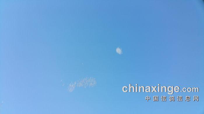 宁夏黄河赛鸽公棚9月4日下午家飞(照片)