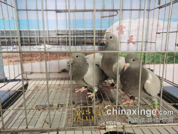 共同商量实施盗窃_天津市赛鸽协会信息网